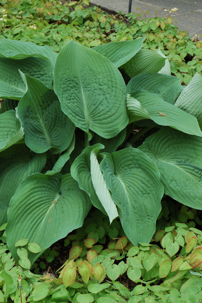 Hosta, Blue Angel