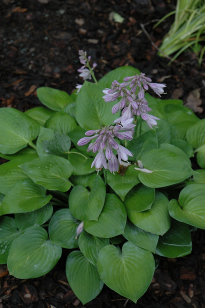 Hosta, Blue Cadet