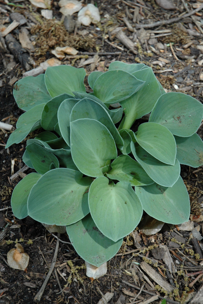 Hosta, Blue Mouse Ears