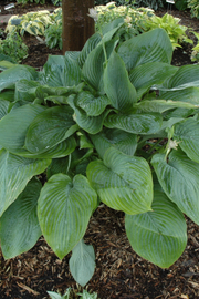 Hosta, Empress Wu