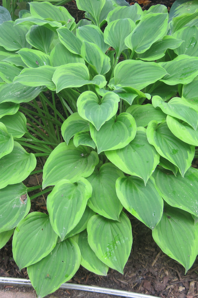Hosta, Golden Tiara