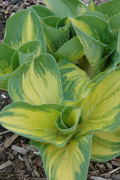Hosta, Great Expectations
