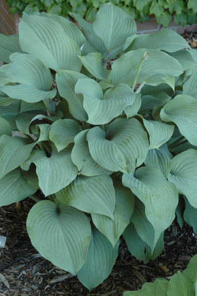 Hosta, Krossa Regal