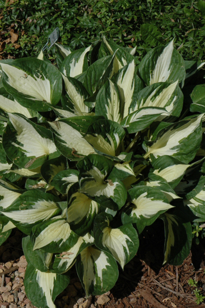 Hosta, Loyalist