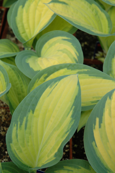Hosta, Orange Marmalade