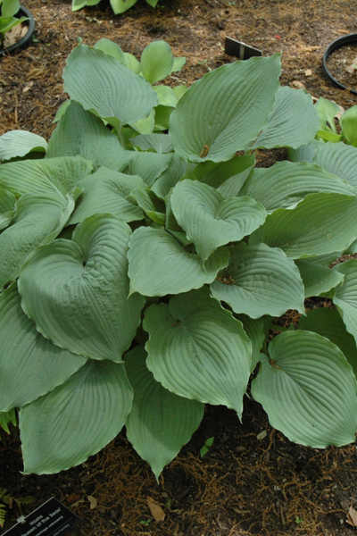Hosta, Queen of the Seas