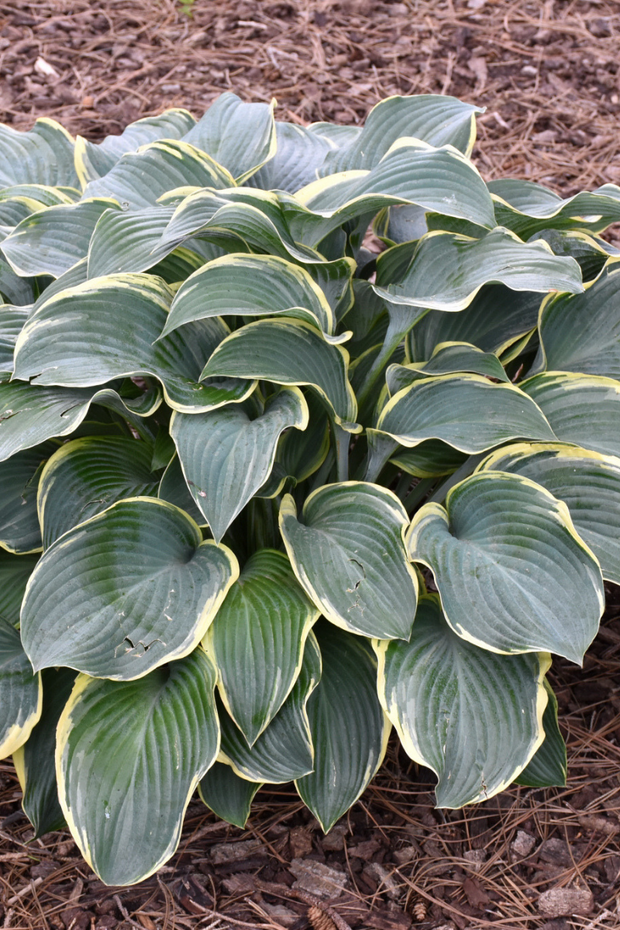 Hosta, Regal Splendor