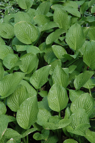 Hosta, Royal Standard