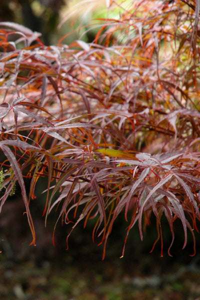 Japanese Maple, Hubb's Red Willow