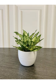 White Cache Glazed Panna Planter 6.5""