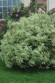 Dogwood, Ivory Halo Variegated