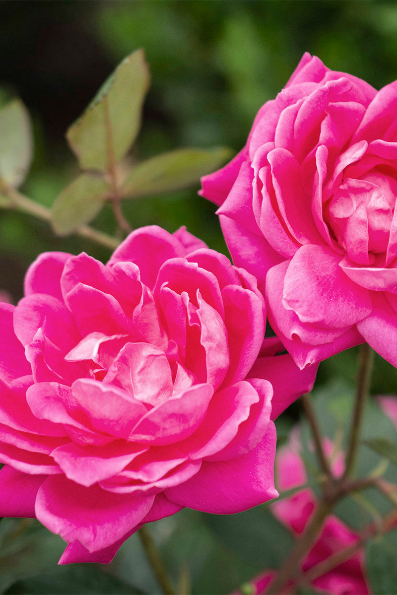 Rose, Knock Out Double Pink