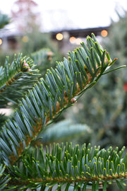 Fresh Cut Fraser Fir Christmas Tree