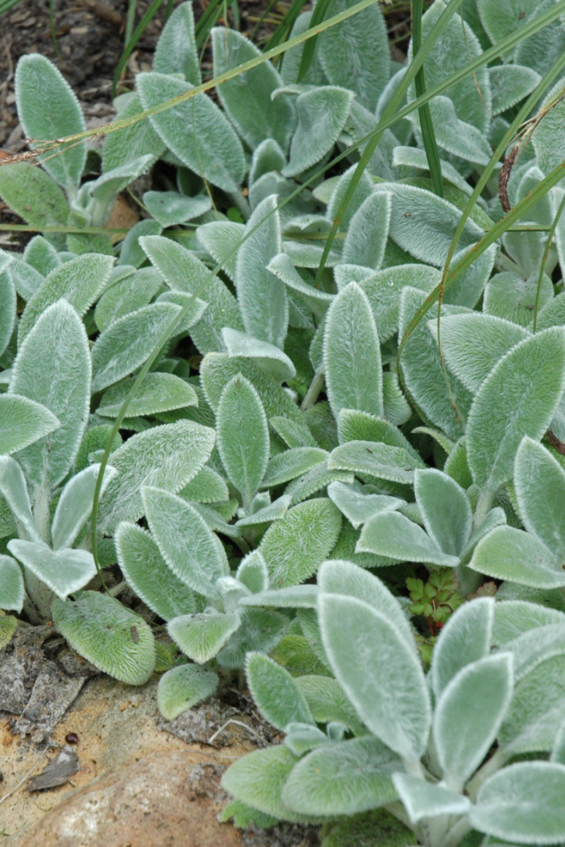 Lamb's Ears, Silver Carpet