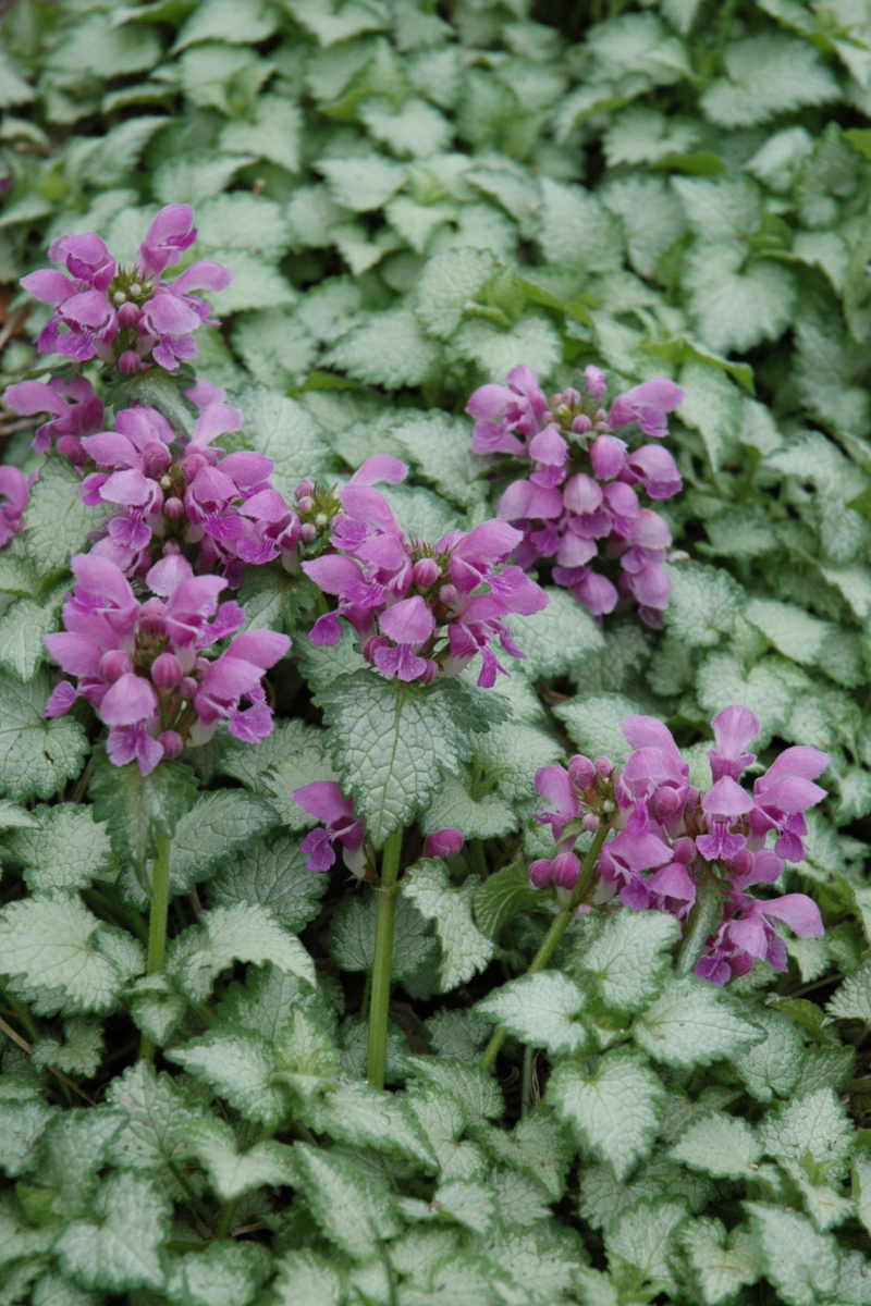 Lamium, Orchid Frost Spotted Dead Nettle