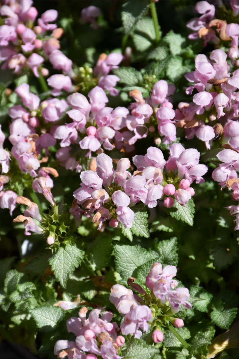 Lamium, Pink Pewter Spotted Dead Nettle
