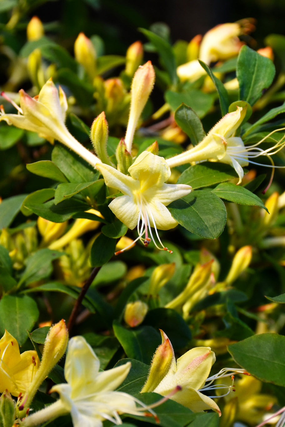 Azalea, Weston's Lemon Drop