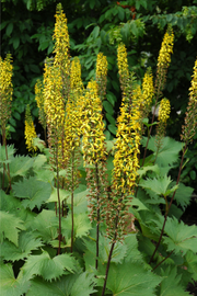 Ligularia, The Rocket Rayflower