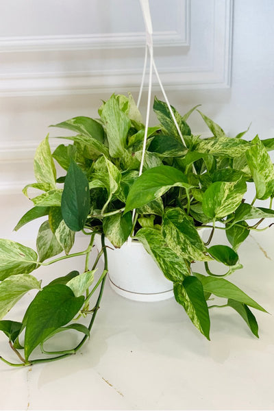 Pothos, Marble Queen Hanging Basket 10""