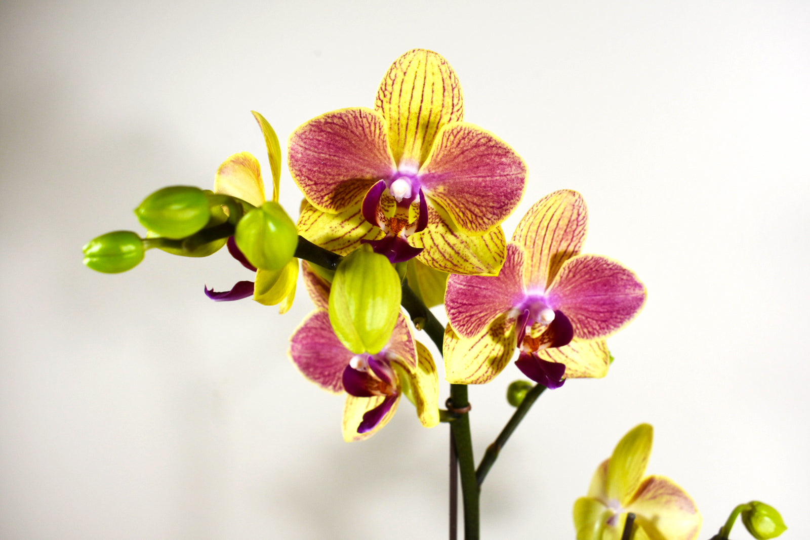 mother s day yellow pink phalaenopsis orchid in cute white pot