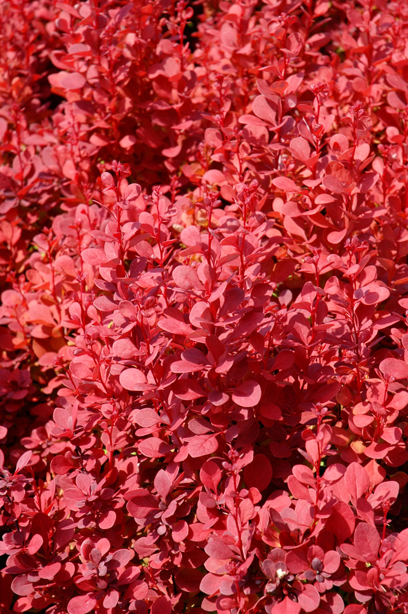 Barberry: Orange Rocket Japanese