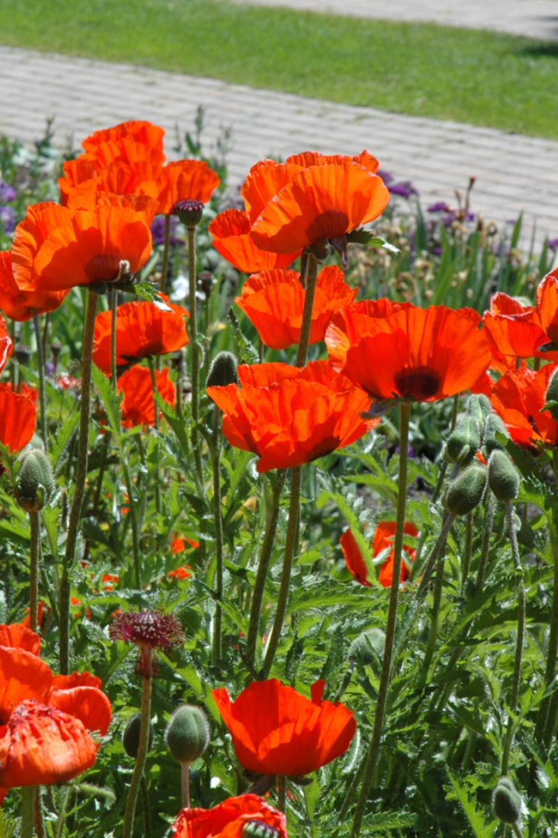 Oriental Poppy, Brilliant