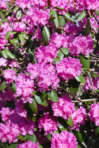 Rhododendron, P.J.M.