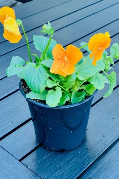 Pansy, Delta™ Pure Deep Orange 4""