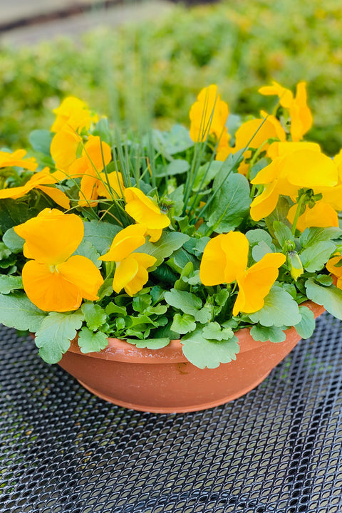 Pansy, Yellow Grass Pansy Bowl 12""