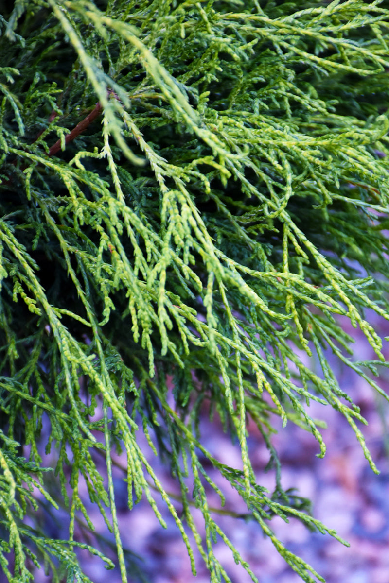 Falsecypress, Angel Hair Threadleaf
