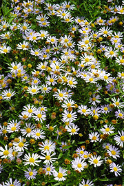 Aster, Blue Star Japanese