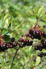 Chokeberry, Black - Autumn Magic