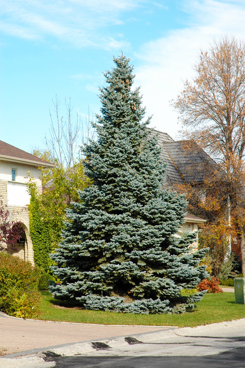 baby blue colorado spruce tree