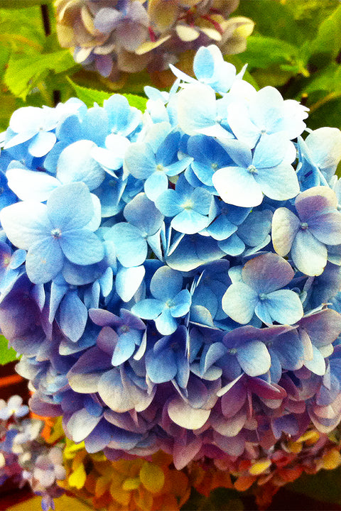 Hydrangea, Blue Enchantress