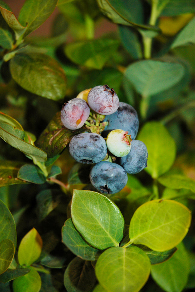 Blueberry, Peach Sorbet®