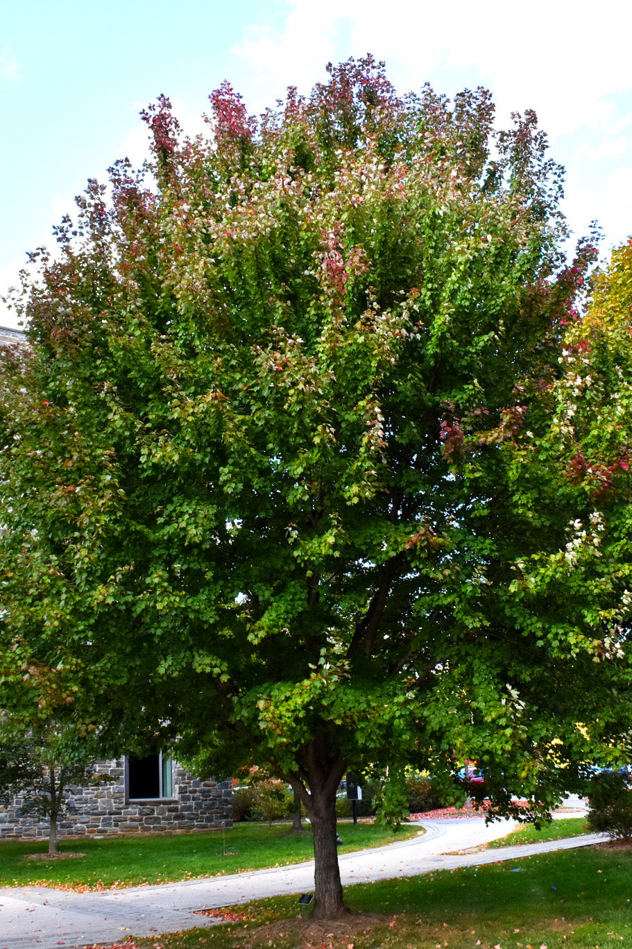 Maple: Brandywine Red