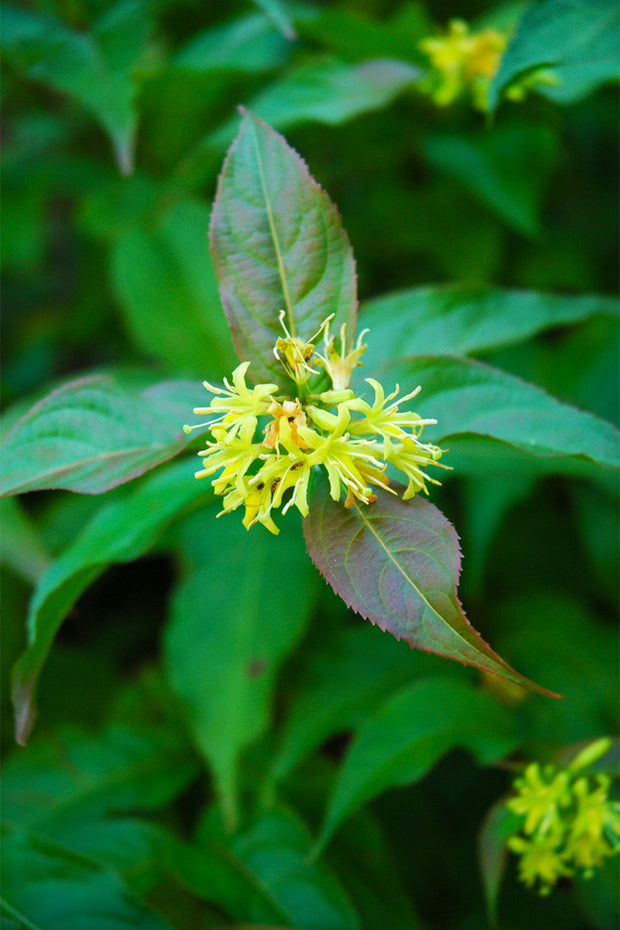 Bush Honeysuckle, Dwarf