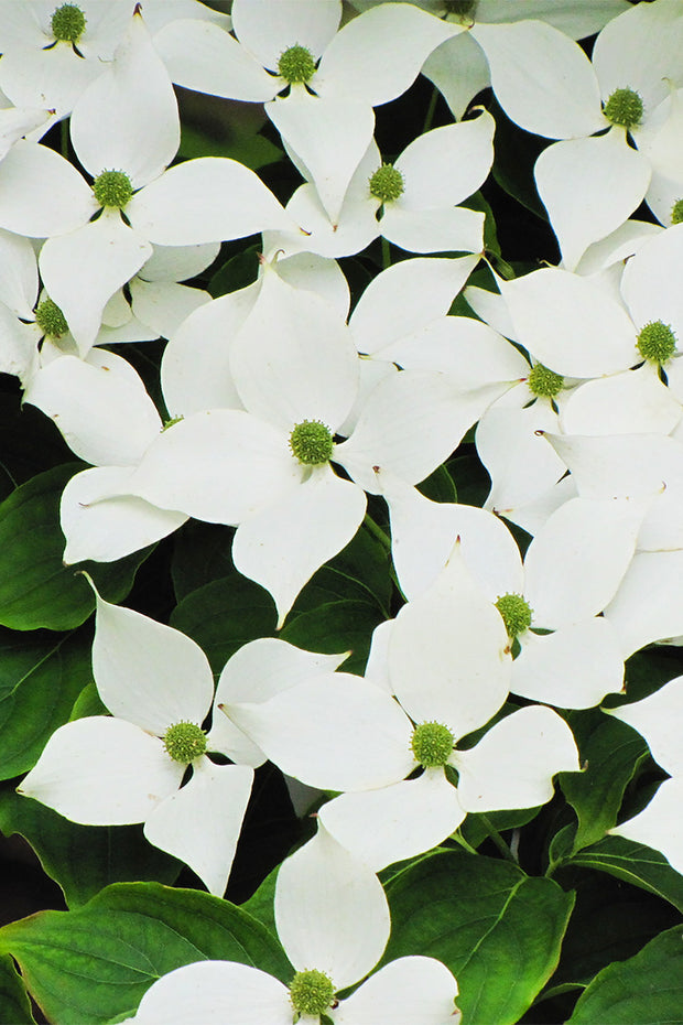 Dogwood, Chinese Flowering