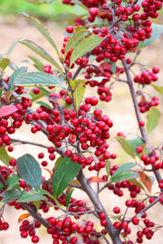 Chokeberry, Red - Brilliantissima