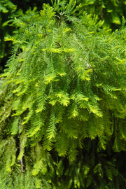 Bald Cypress, Cody's Feathers