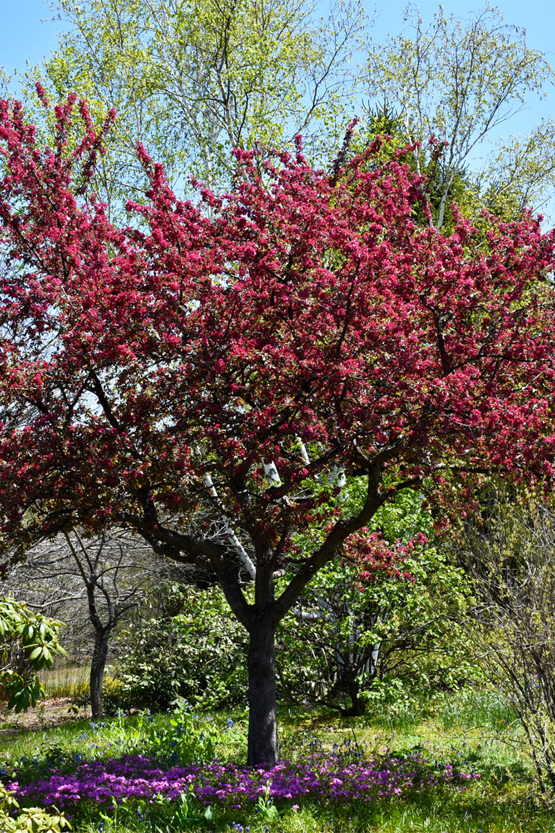 Crabapple, Adams Flowering