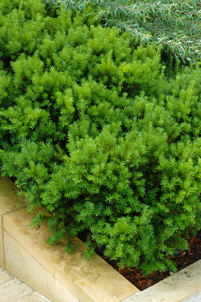 Yew, Dark Green Spreader