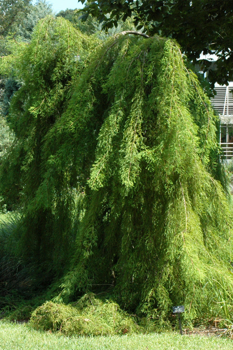 Bald Cypress, Falling Waters Weeping