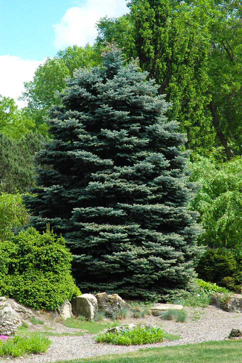 Spruce, Fat Albert Blue
