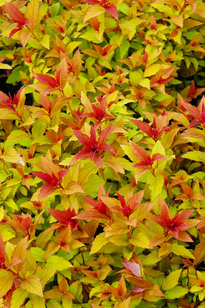 Spirea, Goldflame