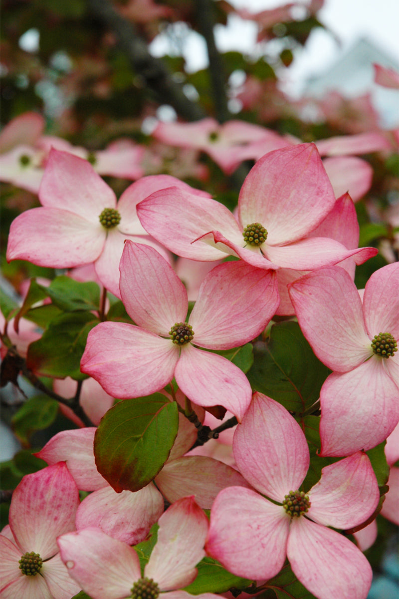 Dogwood, Heart Throb Chinese