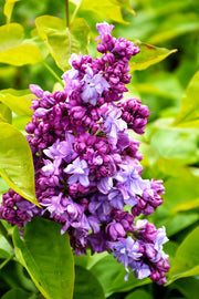 Lilac, Katherine Havemeyer