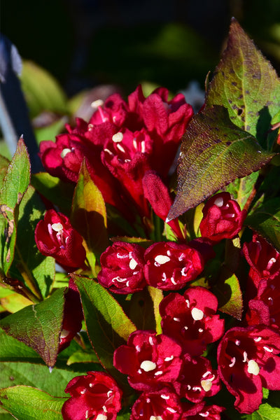 Weigela, Maroon Swoon®