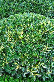 Euonymus, Moonshadow
