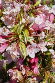 Weigela, Rainbow Sensation
